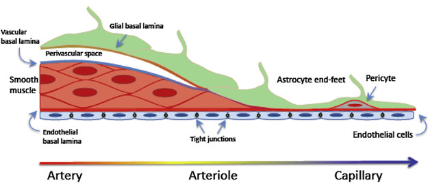 Pericytes Dont Go With The Flowthey Change It Alzforum