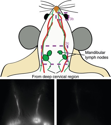 In Mice, CSF Caught Draining Via Lymphatic Vessels, Not Veins   ALZFORUM