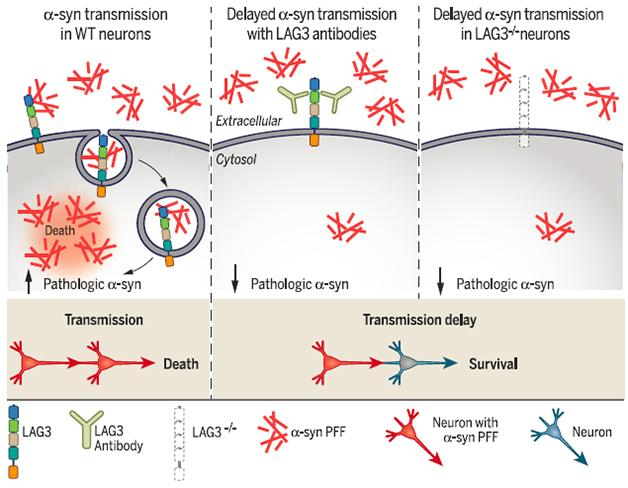 Immune Receptor May Smuggle Synuclein Into Neurons