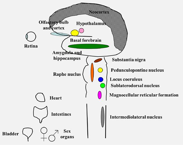 human nervous system essay The human nervous system is broken down into two major divisions, the central nervous system and the peripheral nervous system the brain serves as regulatory.